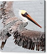 Brown Pelican . 7d8234 Acrylic Print by Wingsdomain Art and Photography