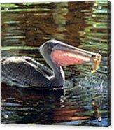 Brown Pelican Afloat Acrylic Print