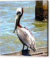 Brown Pelican And Blue Seas Acrylic Print