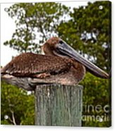 Brown Pelican At Rest Acrylic Print