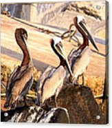 Brown Pelican - Holding Things Together Acrylic Print