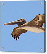 Brown Pelican In High Flight Acrylic Print