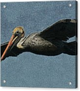 Brown Pelican Painterly Acrylic Print
