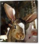 Brown Rabbit Acrylic Print