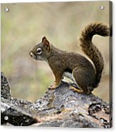 Brown Squirrel In Spokane Acrylic Print