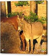 Brown Sugar Eating Some Hay Acrylic Print