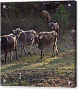 Brown Swiss Cows Coming Home Acrylic Print