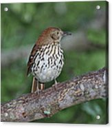 Brown Thrasher Acrylic Print by Gregory Scott