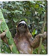 Brown Throated Three Toed Sloth Male Acrylic Print