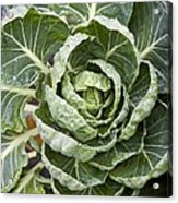 Brussels Sprout Plant Acrylic Print