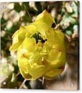 Buchorn Cholla Flower Acrylic Print