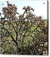Buchorn Cholla Acrylic Print