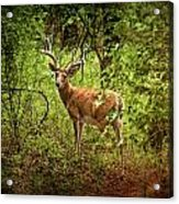 Buck In Full Velvet Acrylic Print