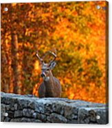 Buck In The Fall 01 Acrylic Print