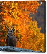 Buck In The Fall 02 Acrylic Print
