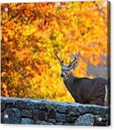 Buck In The Fall 07 Acrylic Print