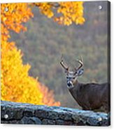 Buck In The Fall 08 Acrylic Print by Metro DC Photography