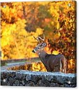 Buck In The Fall 09 Acrylic Print