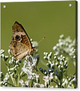 Buckeye Butterfly And Lesser Snakeroot Wildflowers Acrylic Print
