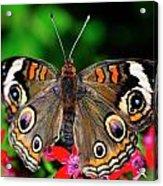 Buckeye Buttterfly Acrylic Print
