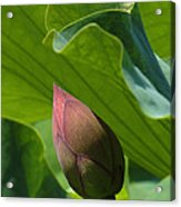 Bud Watched Over Dl050 Acrylic Print