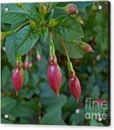 Budding Fuchsia Acrylic Print