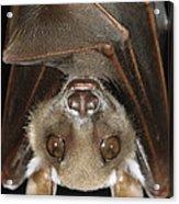 Buettikofers Epauletted Bat Epomops Acrylic Print