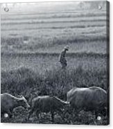 Buffalo And Monsoon Rain Acrylic Print by Anonymous
