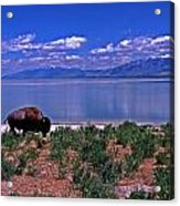 Buffalo And The Great Salt Lake Acrylic Print