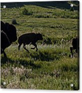 Buffalo Bison Roaming In Custer State Park Sd.-1 Acrylic Print