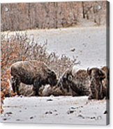 Buffalo Braving The Winter Cold Acrylic Print
