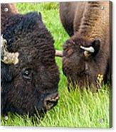 Buffalo Eyes Acrylic Print