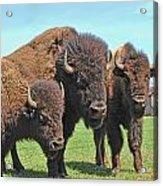 Buffalo Group II Acrylic Print