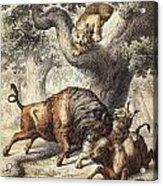 Buffalo & Lynx Acrylic Print