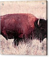 Buffalo Portrait Acrylic Print