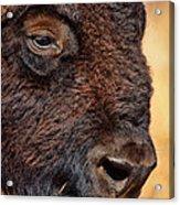 Buffalo Up Close Acrylic Print
