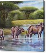 Buffalooes Watering Acrylic Print