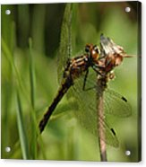 Bug Eyed Dragon Fly Acrylic Print