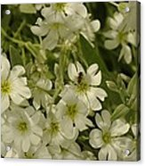 Bug On White Blooms Acrylic Print
