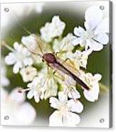 Bug On White Acrylic Print by Maureen  McDonald