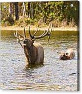 Bugling Bull Elk And Calf Colorado Rut 4 Acrylic Print