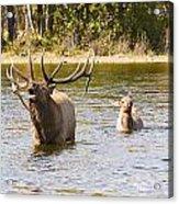 Bugling Bull Elk And Calf Colorado Rut 5 Acrylic Print