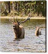 Bugling Bull Elk And Calf Colorado Rut  Acrylic Print