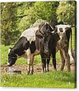 Bull And Cows Grazing On Grass In Farm Maine Acrylic Print