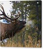 Bull Elk Bugling Jasper National Park Acrylic Print by Carson Ganci