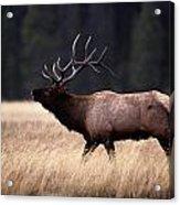 Bull Elk Cervus Elaphus Acrylic Print