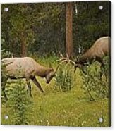 Bull Elk Fighting, Banff National Park Acrylic Print by Philippe Widling