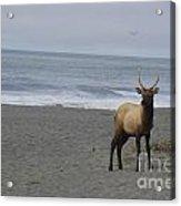 Bull Elk On Calfornia Coast Acrylic Print