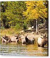 Bull Elk Watching Over Herd 5 Acrylic Print