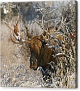 Bull In The Snow Acrylic Print